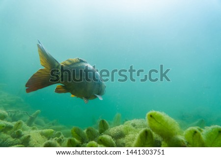 carp under water, under water photography in a beautiful lake in austria, Amazing under water fish image  #1441303751