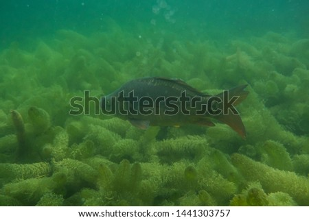 carp under water, under water photography in a beautiful lake in austria, Amazing under water fish image  #1441303757