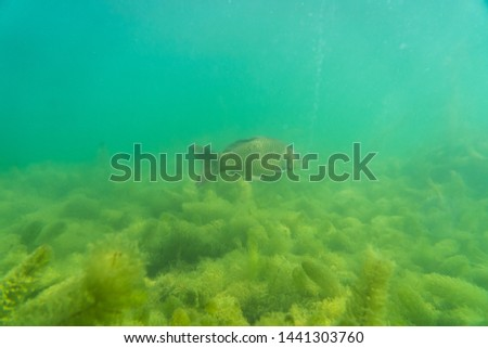 carp under water, under water photography in a beautiful lake in austria, Amazing under water fish image  #1441303760