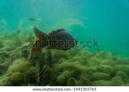 carp under water, under water photography in a beautiful lake in austria, Amazing under water fish image  #1441303763