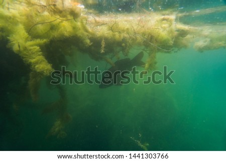 carp under water, under water photography in a beautiful lake in austria, Amazing under water fish image  #1441303766