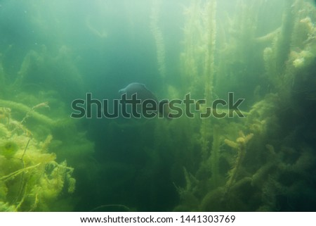 carp under water, under water photography in a beautiful lake in austria, Amazing under water fish image  #1441303769