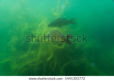 carp under water, under water photography in a beautiful lake in austria, Amazing under water fish image  #1441303772