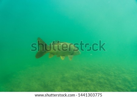 carp under water, under water photography in a beautiful lake in austria, Amazing under water fish image  #1441303775