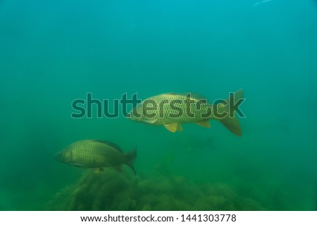 carp under water, under water photography in a beautiful lake in austria, Amazing under water fish image  #1441303778