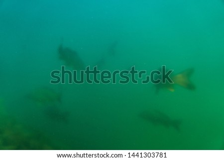 carp under water, under water photography in a beautiful lake in austria, Amazing under water fish image  #1441303781