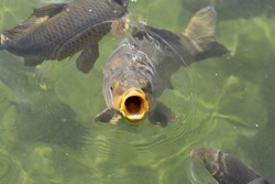 Carp with big open mouth, eating/feeding in clear pond water