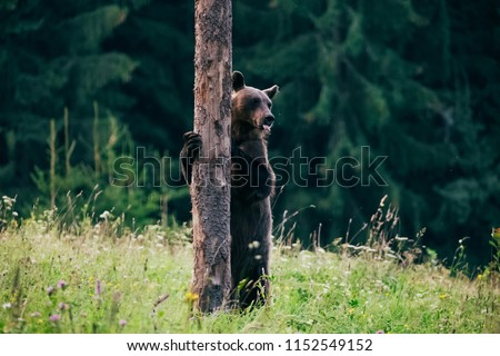 Carpathian brown bear in the wilderness