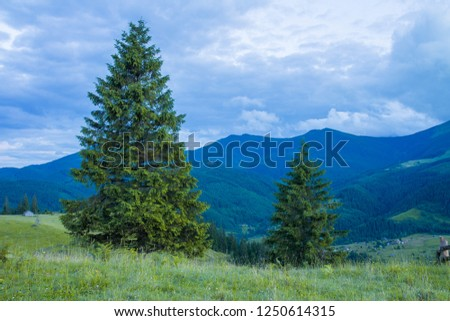 Carpathian green mountains. summer landscapes, large spruce #1250614315