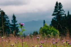 Carpathian mountains in the midle of summmer. Country side view of cloudy vertex in the middle of summer. Rural landscape with forest, hills, meadow without people. Wild thistle blooms on the meadow.