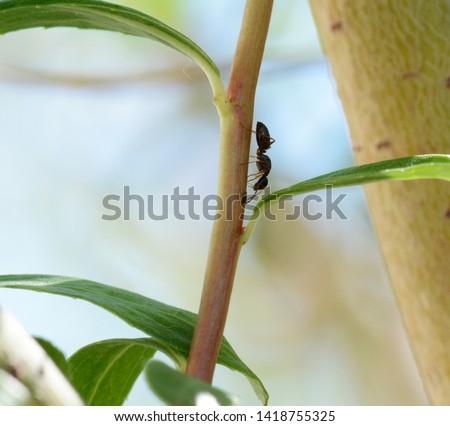 Carpenter ant Camponotus fallax found a lice