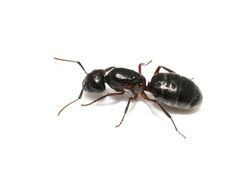 Carpenter ant Camponotus sp. queen isolated on white background