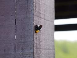 Carpenter Bee making a hole (Xylocopa virginica)