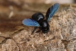 Carpenter bee. Xylocopina. Large carpenter bee. Black Anthophila. Bumble bee.