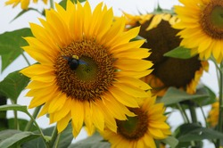 Carpenter bees are species in the genus Xylocopa of the subfamily Xylocopinae. Carpenter bees pollinate sunflowers, Carpenter bees collect pollen from flowers