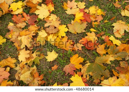 Carpet of autumn maple leaves on green grass