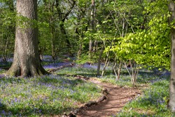 Carpet of bluebells in woodland spring, photographed at Pear Wood next to Stanmore Country Park in Stanmore, Middlesex, UK