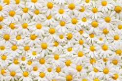 Carpet of flowers of beautiful white daisies (Marguerite) for backgrounds, Germany.