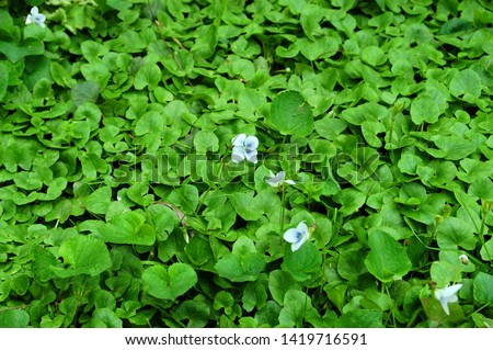 Carpet of lush green leafy foliage with wild flowers along creek bed.  #1419716591