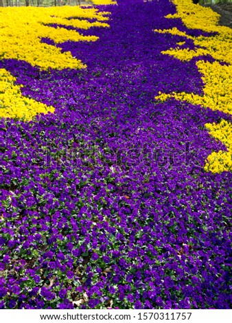 Carpet of purple and yellow flowers