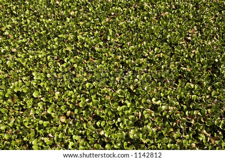 Carpet of water hyacinth growing at Kirby storter roadside park big cypress national preserve, florida, united states, usa, taken in march 2006, The first National Preserve in the National Park System