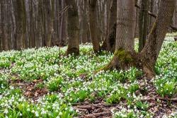 Carpet of white fresh snowdrops in spring forest. Tender spring flowers snowdrops harbingers of warming symbolize the arrival of spring. Scenic view of the spring forest with blooming flowers