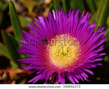 Carpobrotus edulis has become an invasive specie