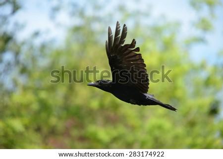 Carrion Crow, Corvus corone