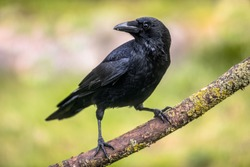 Carrion crow (Corvus corone) black bird perched on branch and looking at camera