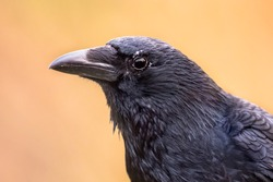 Carrion crow (Corvus corone) black bird portrait on bright background and looking at camera