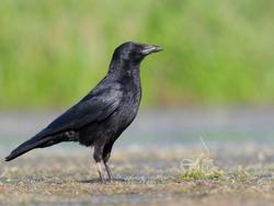 Carrion crow, Corvus corone, single bird by water,  Warwickshire, July 2018