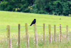 Carrion Crow perched on fence post with grassland back ground
