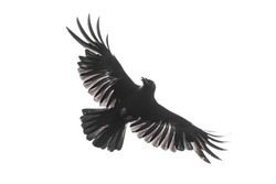 Carrion crow with fully opened wings