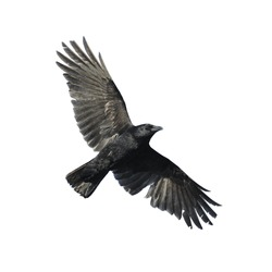 Carrion crow with wide-spread wings isolated against white background.