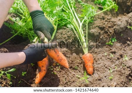 Carrot in the hands of a farmer. Harvesting. Growing organic vegetables. Freshly harvested carrots. Summer harvest. Agriculture. Seasonal job. Farming. Agro-industry. Farm. Ukraine, Kherson region. #1421674640