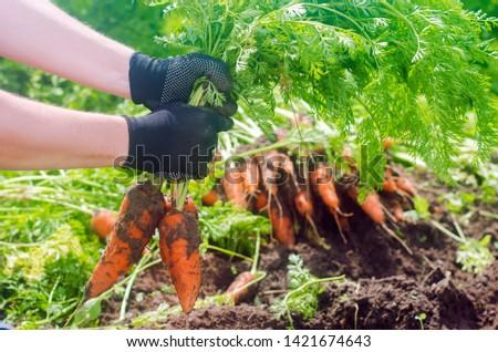 Carrot in the hands of a farmer. Harvesting. Growing organic vegetables. Freshly harvested carrots. Summer harvest. Agriculture. Seasonal job. Farming. Agro-industry. Farm. Ukraine, Kherson region. #1421674643