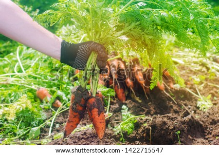 Carrot in the hands of a farmer. Harvesting. Growing organic vegetables. Freshly harvested carrots. Summer harvest. Agriculture. Seasonal job. Farming. Agro-industry. Farm. Ukraine, Kherson region.