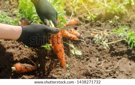 Carrot in the hands of a farmer. Harvesting. Growing organic vegetables. Freshly harvested carrots. Summer harvest. Agriculture. Seasonal job. Farming. Agro-industry. Farm. Ukraine