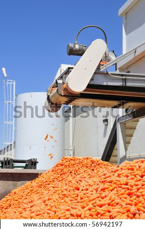 Carrot processing plant: Product coming off a conveyor belt