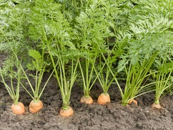 Carrot root plant growing on bed in the field of the vegetable garden, closeup, copy space, organic agriculture and grow your own concept