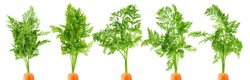 carrot top, halm, leaves, isolated on white background, clipping path, full depth of field