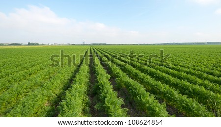 Carrots growing on a field in summer #108624854