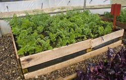 Carrots in a pallet garden