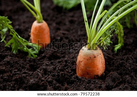 Carrots in the field