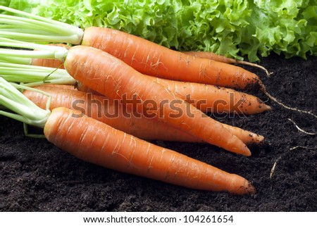 carrots organic in the garden