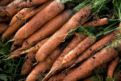 Carrots with green tops on the garden bed. Concept of harvesting, growing vegetables, agriculture.