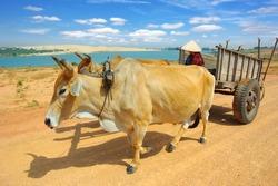 Cart harnessed by bulls in  Mui Ne  District, Vietnam