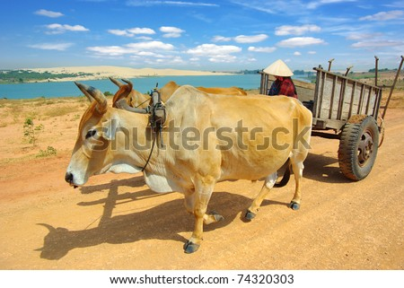 Cart harnessed by bulls in  Mui Ne  District, Vietnam