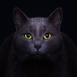 Carthusian grey cat with yellow eyes in the dark