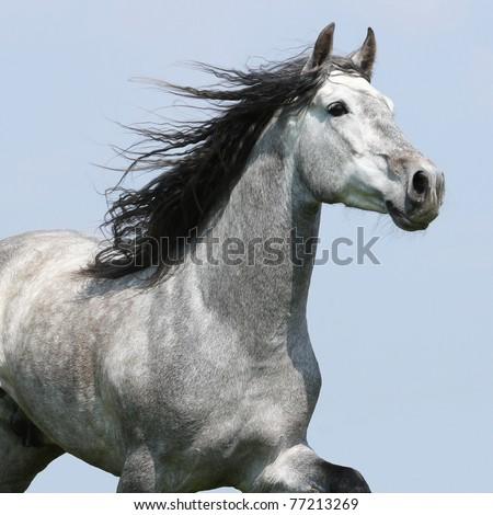 Carthusian horse isolated on blue background
